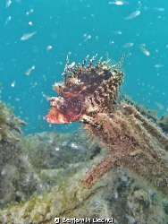 Scorpionfish posing by Benjamin Liechti 